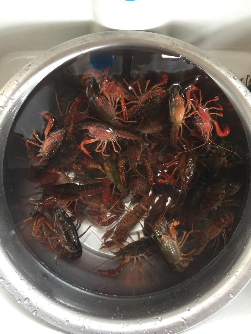 生龙活虎的小龙虾,清洗,用刷子一个一个刷干净.