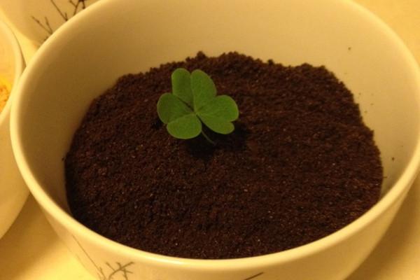 盆栽椰汁布丁的做法