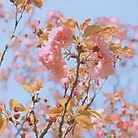 盐渍樱花、樱叶&樱花酱的做法图解1