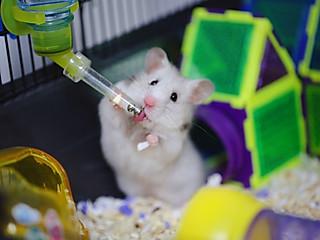 诗风的晒晒我家的仓鼠——安妮