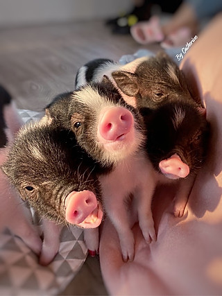 ❣️魔都探店❣️上海咖啡馆也可以撸猪猪🐷啦!