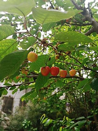 北纬yhz的藏在荒凉院子里的樱桃树