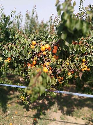 娜娜食堂的朋友家的杏林 还有苹果🍎林 今天看见了他们给苹果🍎套袋!
