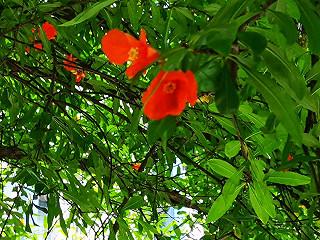 自然疗法师王淑芳的小区里盛开的石榴花