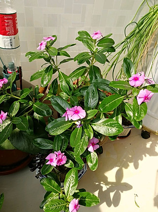 __Bobo__的四季花🌺,我唯一能养活的花😅