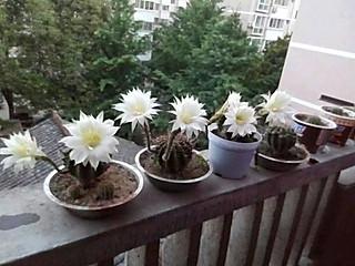 赵萌晓彤的仙人球花