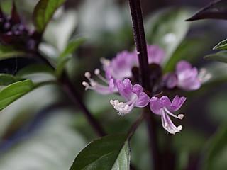 applepie80的罗勒开花也有观赏性