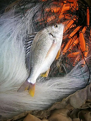 海味之鲜的【野生海鲜:东山岛海钓黄翅鱼】 营养价值非常高