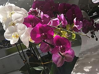 Doervzz的这里的蝴蝶兰花期比家中的迟到了五个月,每一个季节心都思念装满