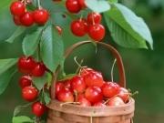 樱桃是不是车厘子,针叶樱桃又是甚?
