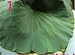 绿豆荷叶粥的做法图解1