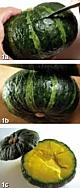 面酱排骨瓤小南瓜的做法图解1