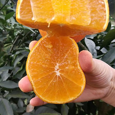"""""""柑橘皇后""""爱媛大果/约5斤/10颗-12颗 14点截单产地直发"""